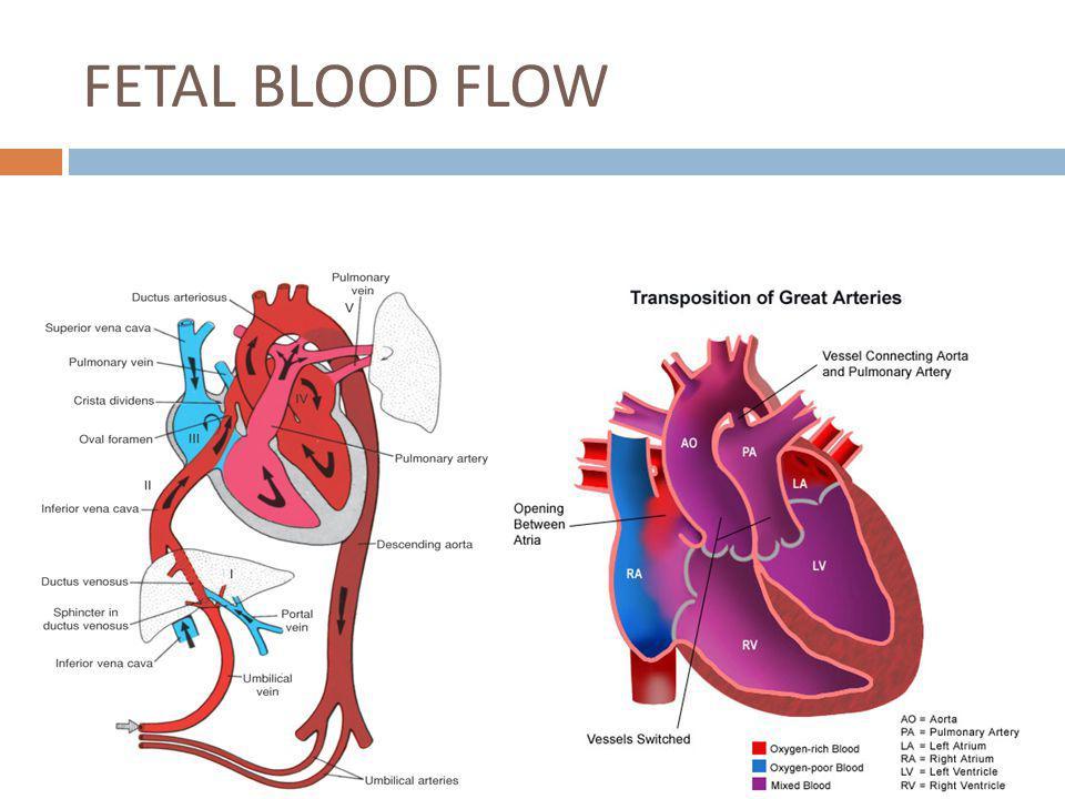 FETAL BLOOD FLOW