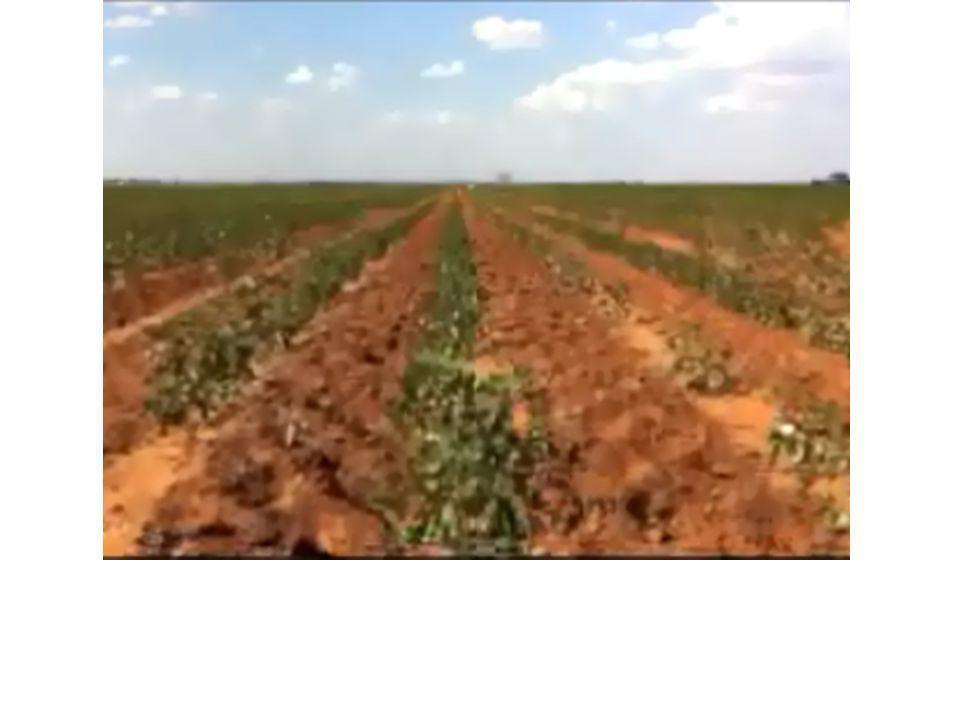 Shallowater, Texas Pre-watered Only Planted May 4 – Picture taken August 25, 2011