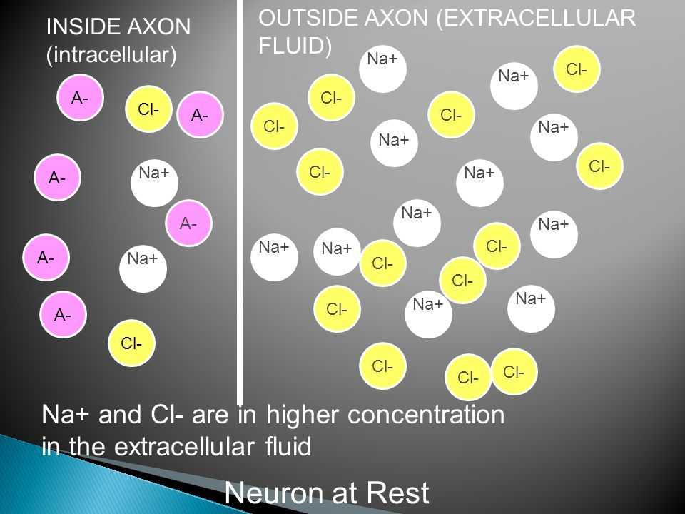 INSIDE AXON (intracellular) OUTSIDE AXON (EXTRACELLULAR FLUID) Na+ Na+ and Cl- are in higher concentration in the extracellular fluid Cl- Neuron at Rest Na+ Cl- A-