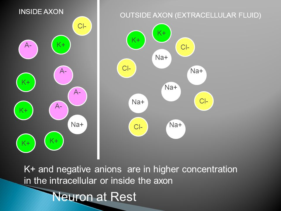INSIDE AXON OUTSIDE AXON (EXTRACELLULAR FLUID) Na+ A- K+ and negative anions are in higher concentration in the intracellular or inside the axon Cl- K