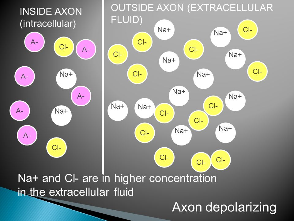 INSIDE AXON (intracellular) OUTSIDE AXON (EXTRACELLULAR FLUID) Na+ Na+ and Cl- are in higher concentration in the extracellular fluid Cl- Axon depolarizing Na+ Cl- A-