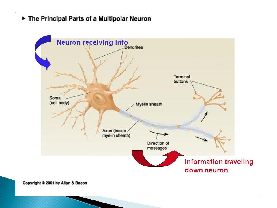 Neuron receiving info Information traveling down neuron