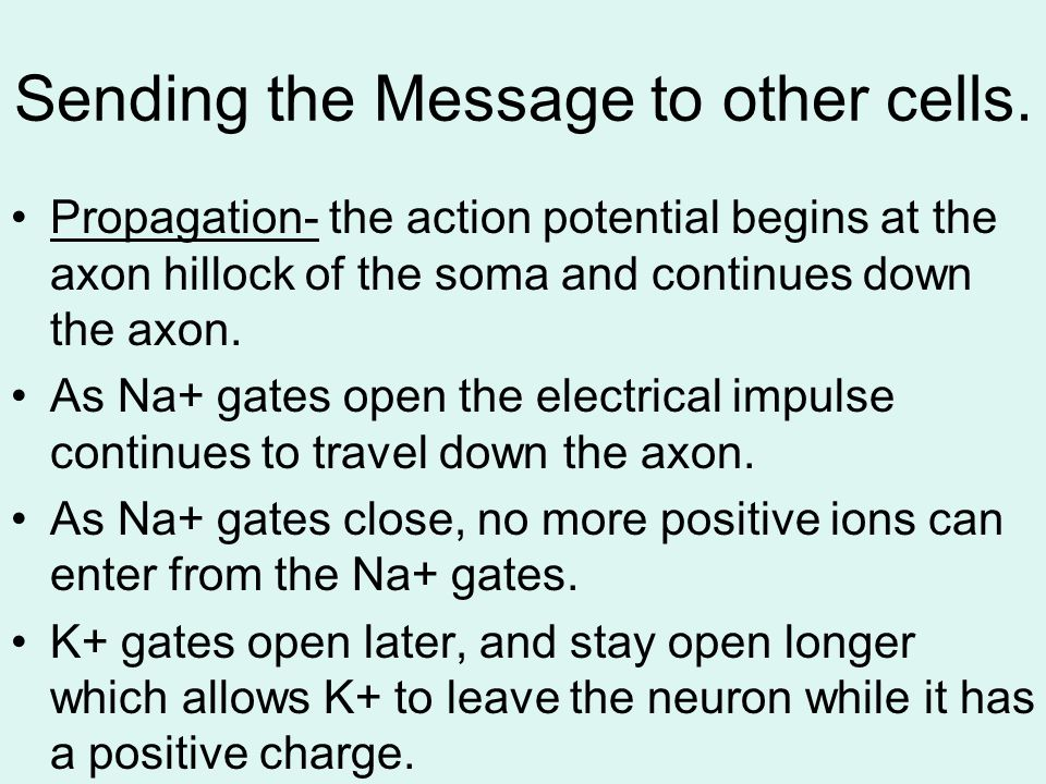 Sending the Message to other cells. Propagation- the action potential begins at the axon hillock of the soma and continues down the axon. As Na+ gates