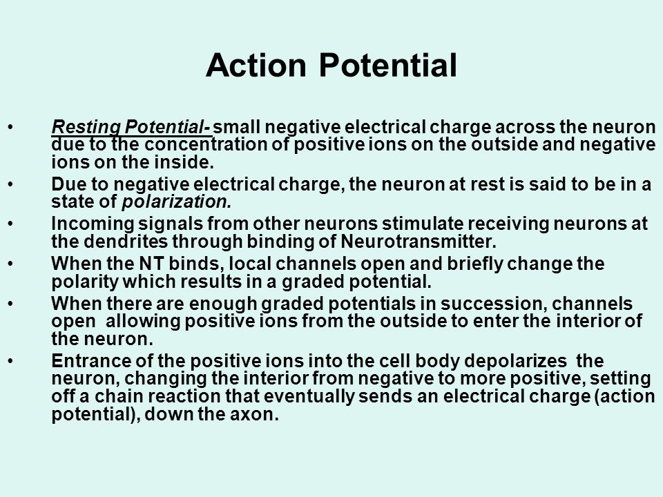 Action Potential Resting Potential- small negative electrical charge across the neuron due to the concentration of positive ions on the outside and ne