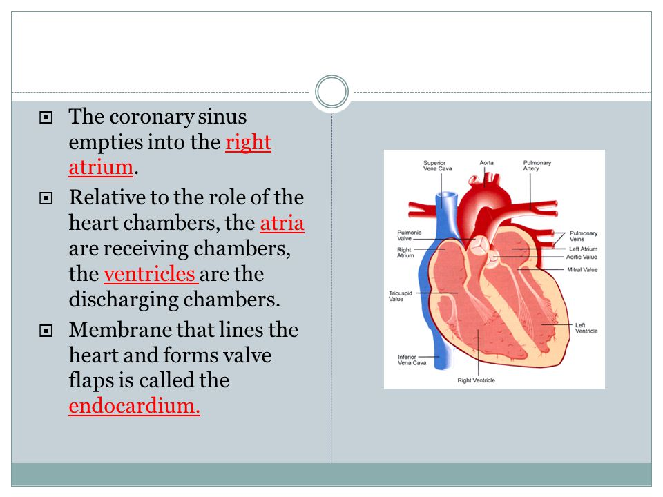 The coronary sinus empties into the right atrium. Relative to the role of the heart chambers, the atria are receiving chambers, the ventricles are the