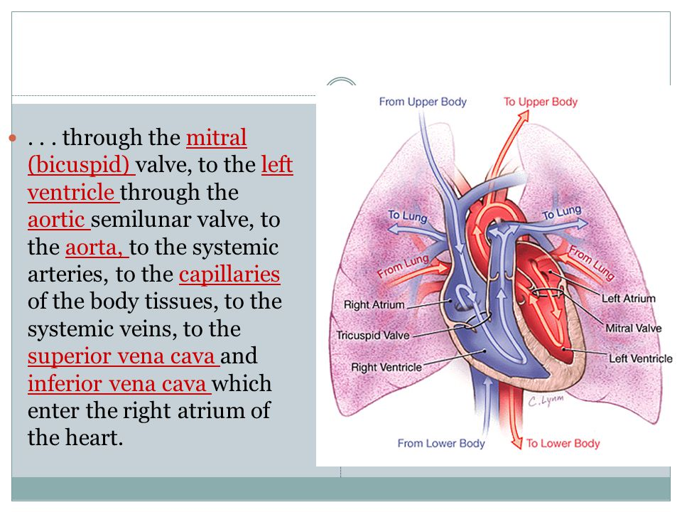 ... through the mitral (bicuspid) valve, to the left ventricle through the aortic semilunar valve, to the aorta, to the systemic arteries, to the capi