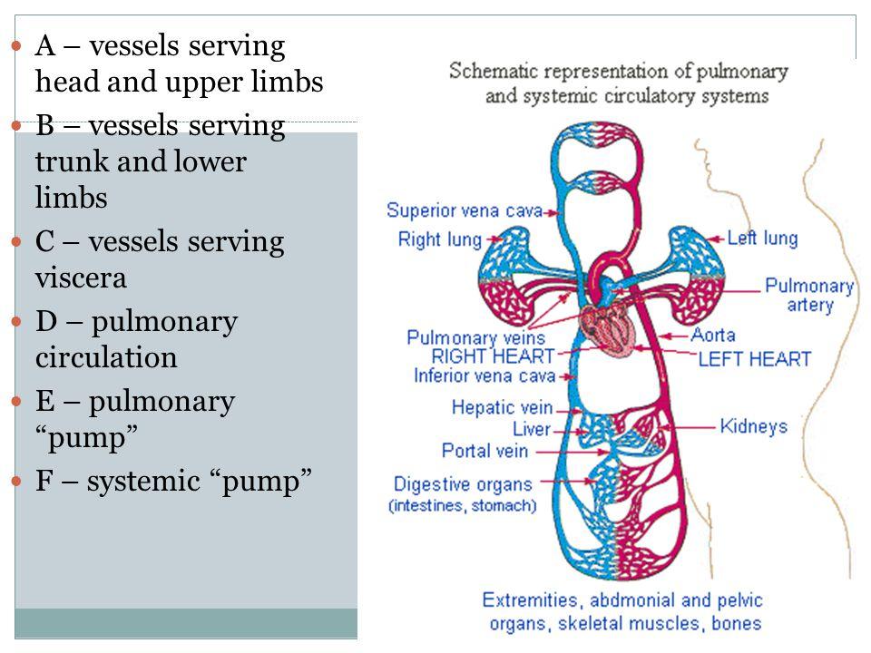A – vessels serving head and upper limbs B – vessels serving trunk and lower limbs C – vessels serving viscera D – pulmonary circulation E – pulmonary