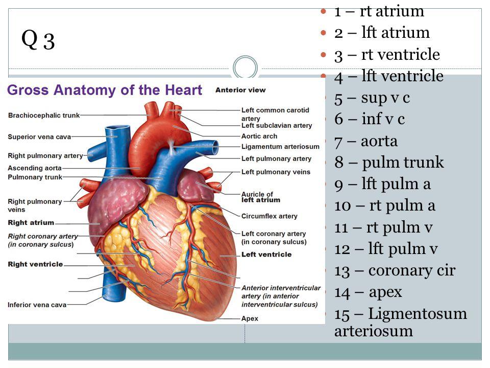 Q 3 1 – rt atrium 2 – lft atrium 3 – rt ventricle 4 – lft ventricle 5 – sup v c 6 – inf v c 7 – aorta 8 – pulm trunk 9 – lft pulm a 10 – rt pulm a 11