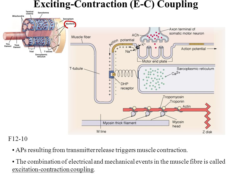 Exciting-Contraction (E-C) Coupling APs resulting from transmitter release triggers muscle contraction.