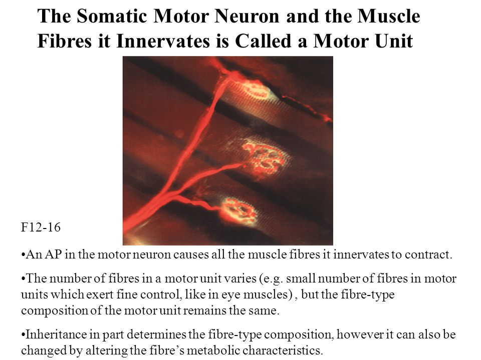 The Somatic Motor Neuron and the Muscle Fibres it Innervates is Called a Motor Unit An AP in the motor neuron causes all the muscle fibres it innervates to contract.