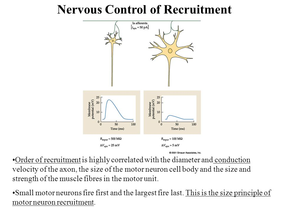Nervous Control of Recruitment Order of recruitment is highly correlated with the diameter and conduction velocity of the axon, the size of the motor neuron cell body and the size and strength of the muscle fibres in the motor unit.