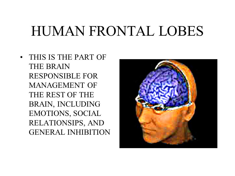 HUMAN FRONTAL LOBES THIS IS THE PART OF THE BRAIN RESPONSIBLE FOR MANAGEMENT OF THE REST OF THE BRAIN, INCLUDING EMOTIONS, SOCIAL RELATIONSIPS, AND GE
