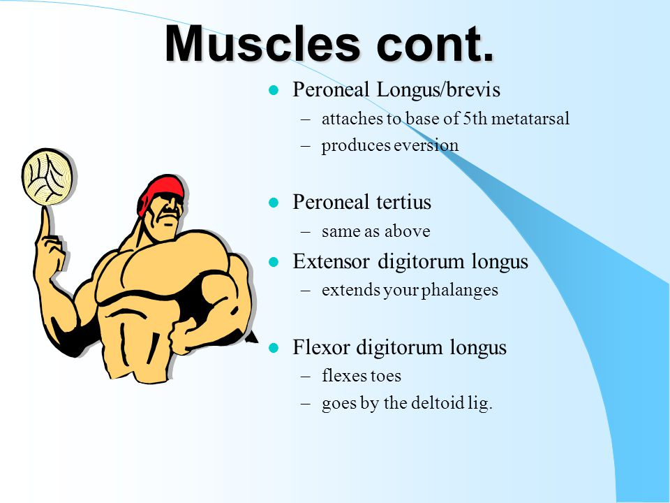 Muscles cont.
