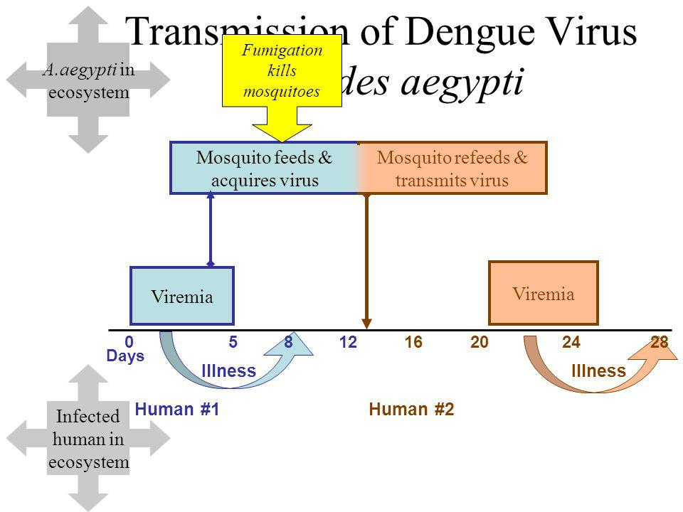 Transmission of Dengue Virus by Aedes aegypti Viremia Days 0581216202428 Human #1Human #2 Illness Mosquito feeds & acquires virus Mosquito refeeds & transmits virus Viremia Illness A.aegypti in ecosystem Infected human in ecosystem Fumigation kills mosquitoes