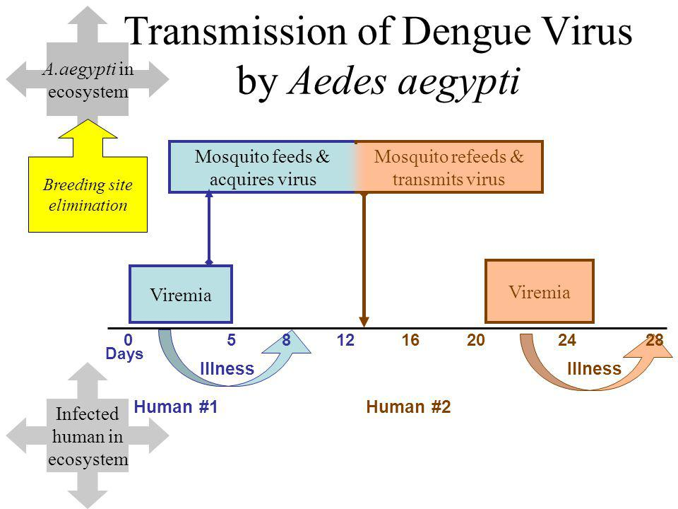 Transmission of Dengue Virus by Aedes aegypti Viremia Days 0581216202428 Human #1Human #2 Illness Mosquito feeds & acquires virus Mosquito refeeds & transmits virus Viremia Illness A.aegypti in ecosystem Infected human in ecosystem Breeding site elimination