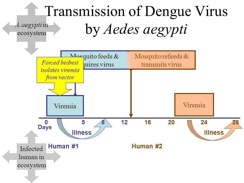 Transmission of Dengue Virus by Aedes aegypti Viremia Days 0581216202428 Human #1Human #2 Illness Mosquito feeds & acquires virus Mosquito refeeds & transmits virus Viremia Illness Forced bedrest isolates viremia from vector A.aegypti in ecosystem Infected human in ecosystem