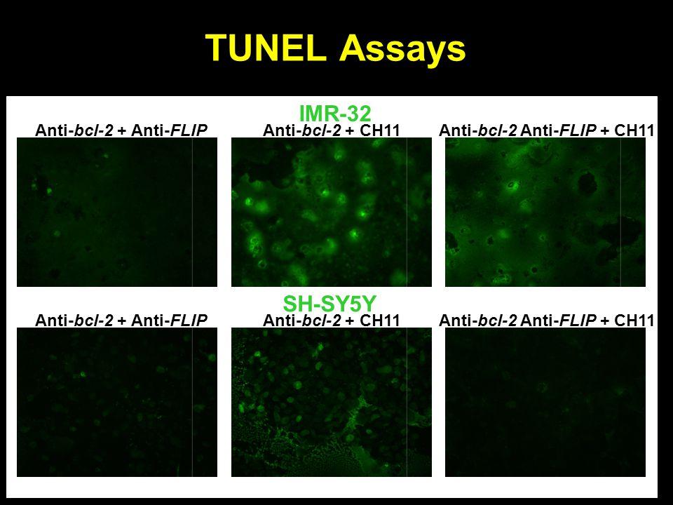 TUNEL Assays Anti-bcl-2 + Anti-FLIPAnti-bcl-2 + CH11Anti-bcl-2 Anti-FLIP + CH11 Anti-bcl-2 + Anti-FLIPAnti-bcl-2 + CH11Anti-bcl-2 Anti-FLIP + CH11 SH-SY5Y IMR-32