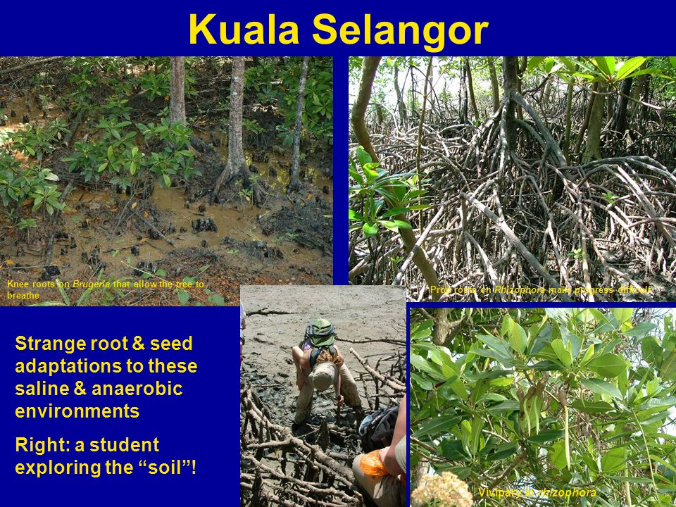 Kuala Selangor Strange root & seed adaptations to these saline & anaerobic environments Right: a student exploring the soil.