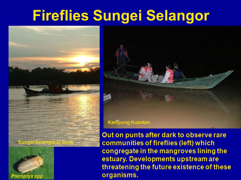 Fireflies Sungei Selangor Out on punts after dark to observe rare communities of fireflies (left) which congregate in the mangroves lining the estuary.