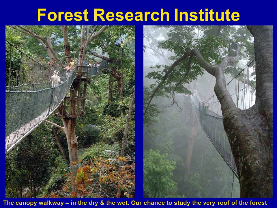 Forest Research Institute The canopy walkway – in the dry & the wet.