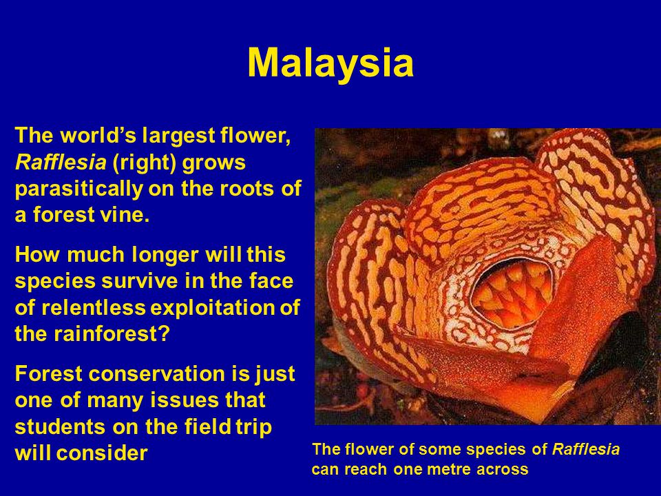 Malaysia The worlds largest flower, Rafflesia (right) grows parasitically on the roots of a forest vine.