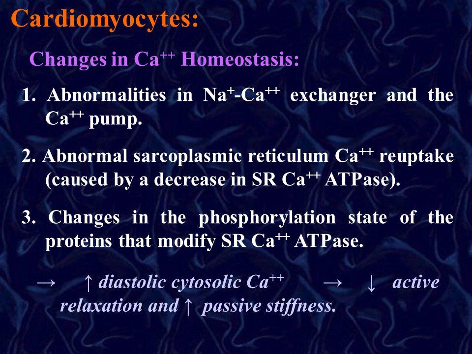 Cardiomyocytes: Changes in Ca ++ Homeostasis: 1.