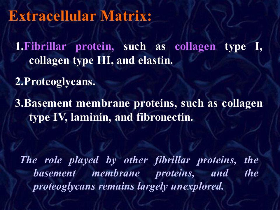 Extracellular Matrix: 1.Fibrillar protein, such as collagen type I, collagen type III, and elastin.