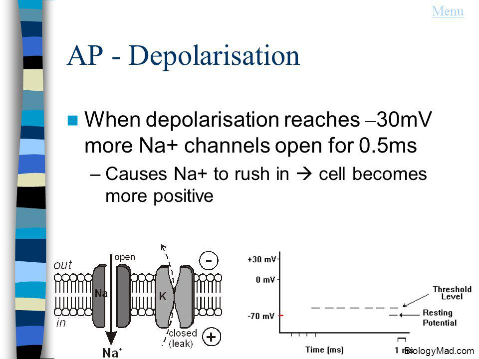 AP - Depolarisation When depolarisation reaches – 30mV more Na+ channels open for 0.5ms –Causes Na+ to rush in cell becomes more positive BiologyMad.com Menu