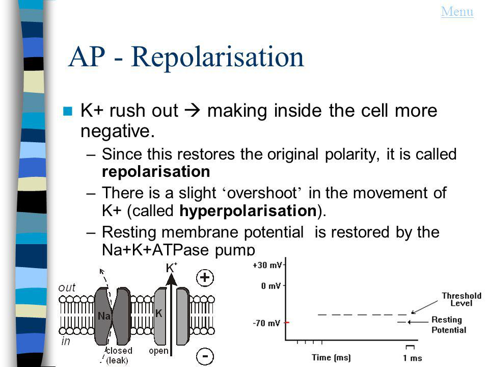 AP - Repolarisation K+ rush out making inside the cell more negative.