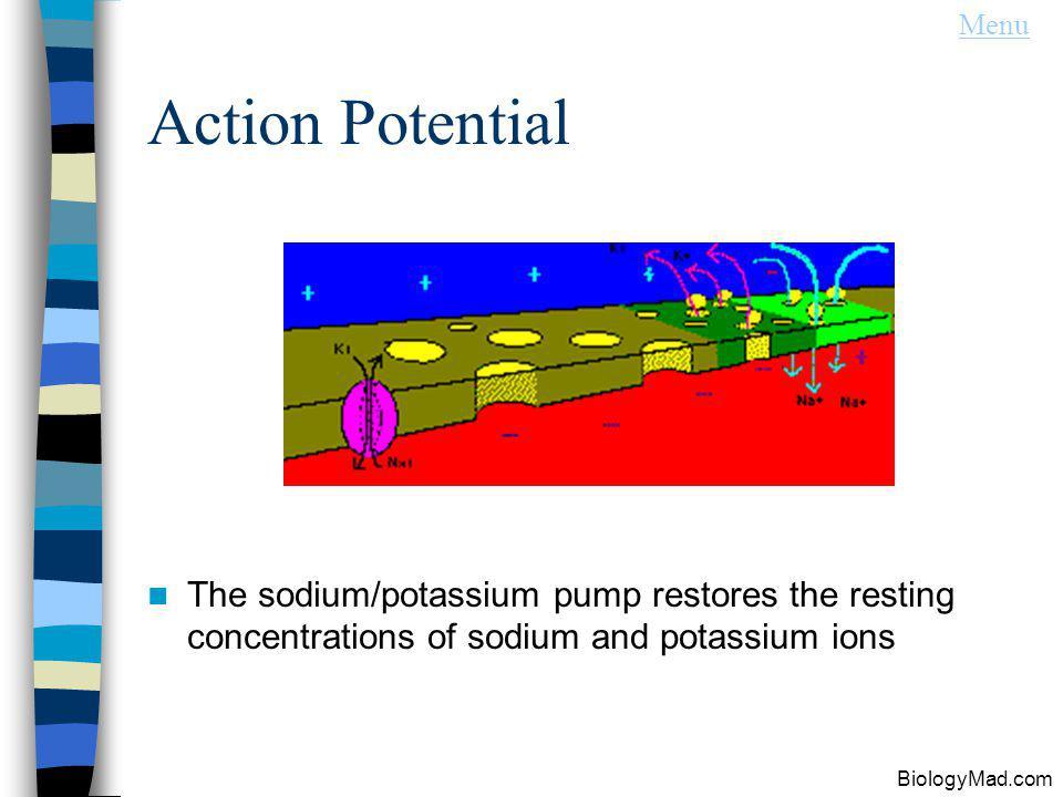Action Potential The sodium/potassium pump restores the resting concentrations of sodium and potassium ions BiologyMad.com Menu