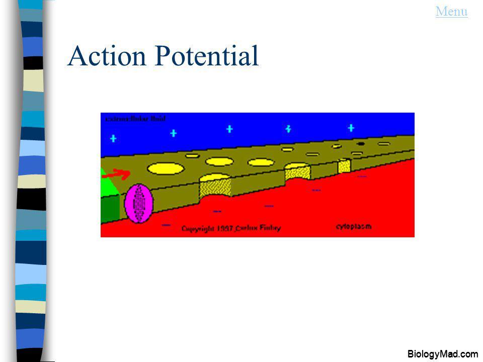 Action Potential BiologyMad.com Menu BiologyMad.com
