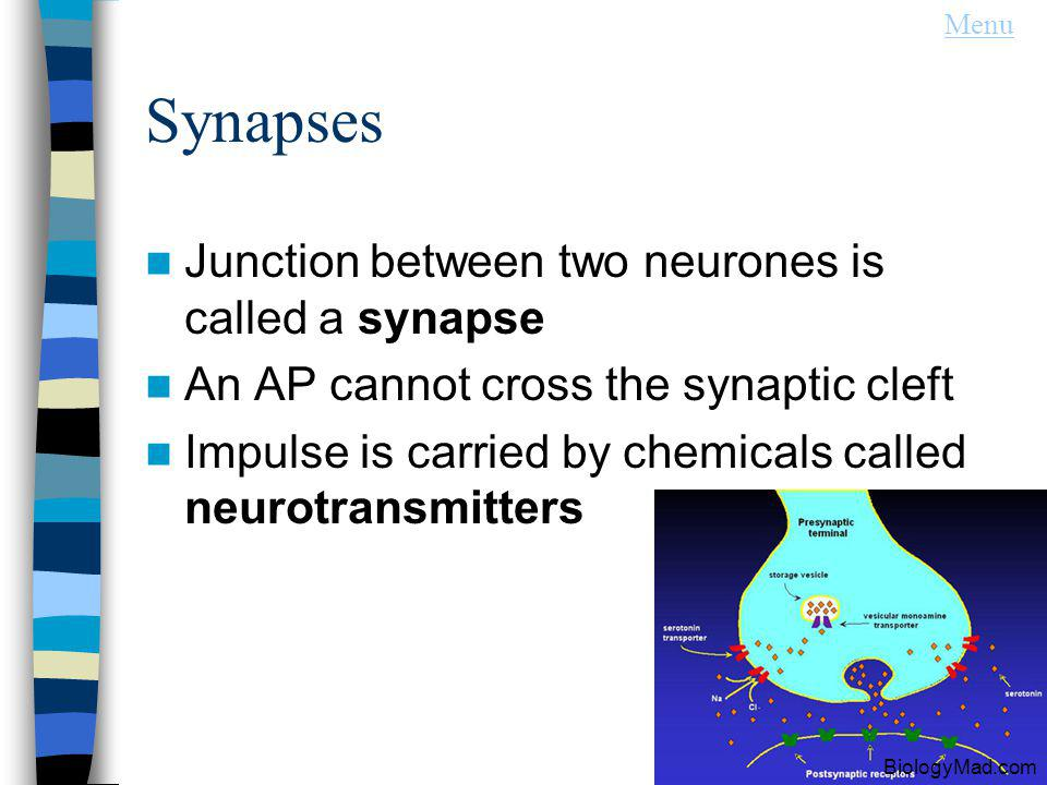 Synapses Junction between two neurones is called a synapse An AP cannot cross the synaptic cleft Impulse is carried by chemicals called neurotransmitters Menu BiologyMad.com