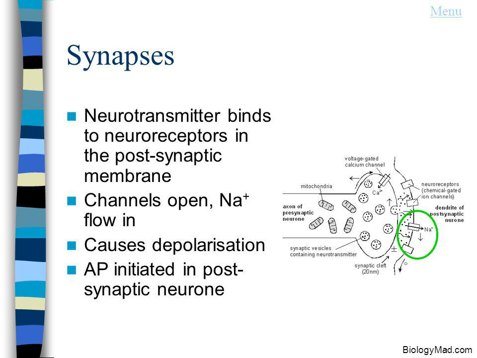 Synapses Neurotransmitter binds to neuroreceptors in the post-synaptic membrane Channels open, Na + flow in Causes depolarisation AP initiated in post- synaptic neurone Menu BiologyMad.com