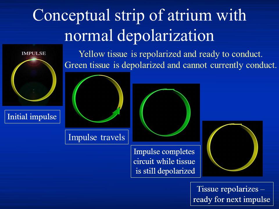 Conceptual strip of atrium with normal depolarization Initial impulse Impulse travels Impulse completes circuit while tissue is still depolarized Tiss