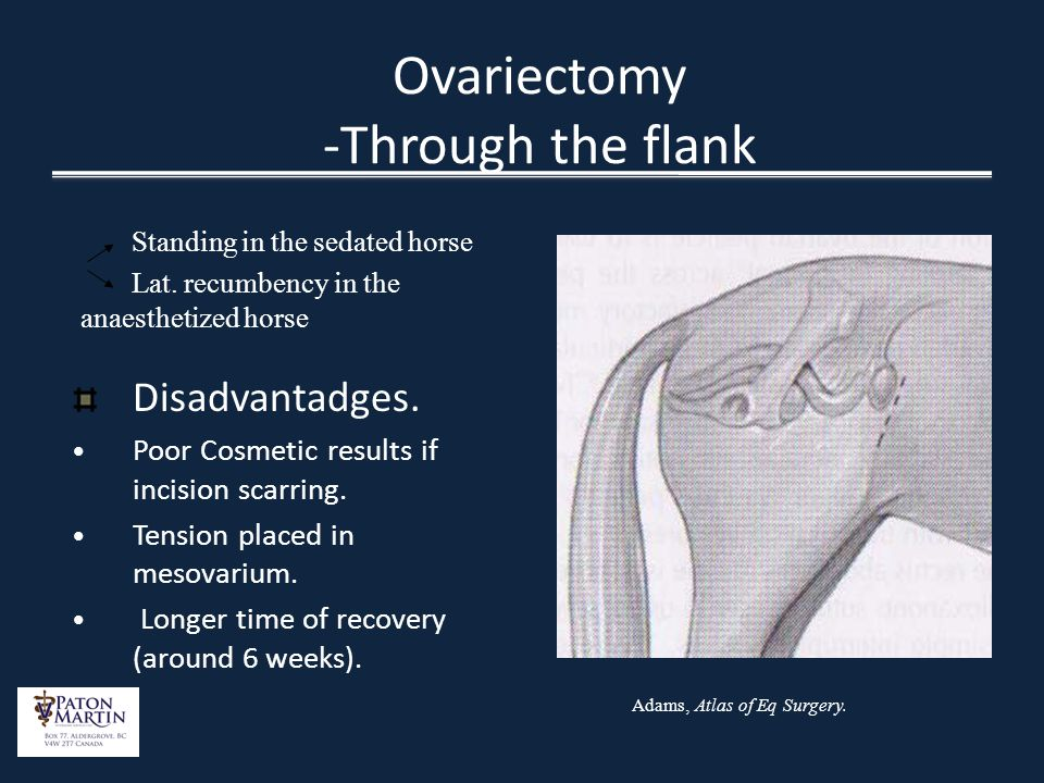 Ovariectomy -Through the flank Standing in the sedated horse Lat. recumbency in the anaesthetized horse Disadvantadges. Poor Cosmetic results if incis