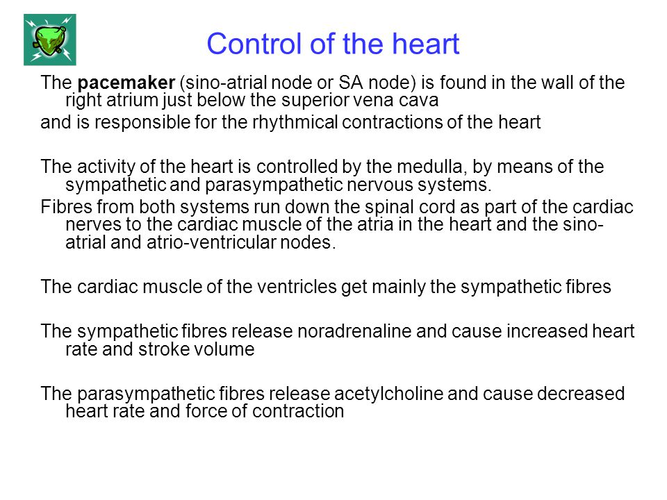 Control of the heart The pacemaker (sino-atrial node or SA node) is found in the wall of the right atrium just below the superior vena cava and is res