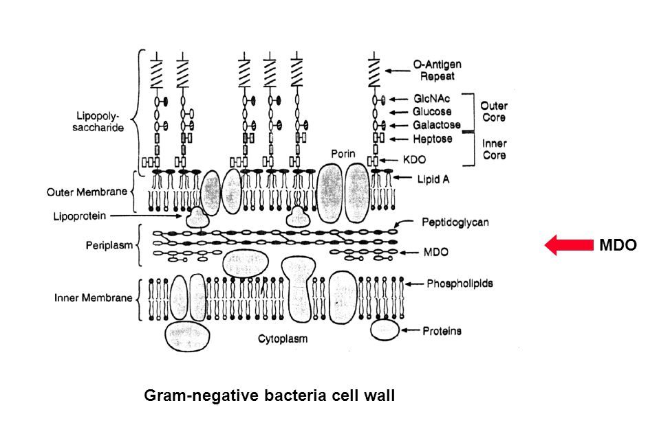 MDO Gram-negative bacteria cell wall