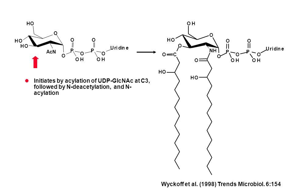 Initiates by acylation of UDP-GlcNAc at C3, followed by N-deacetylation, and N- acylation HO O O NH OH CO HO O O P O O OH HO P O O OH Uridine HO O HO AcN HO O P O O OH P O O OH Uridine Wyckoff et al.