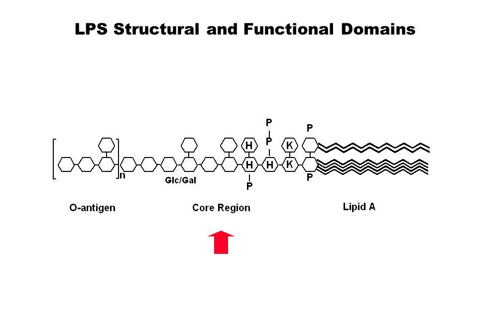 LPS Structural and Functional Domains