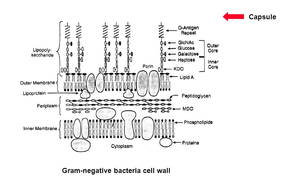 Capsule Gram-negative bacteria cell wall