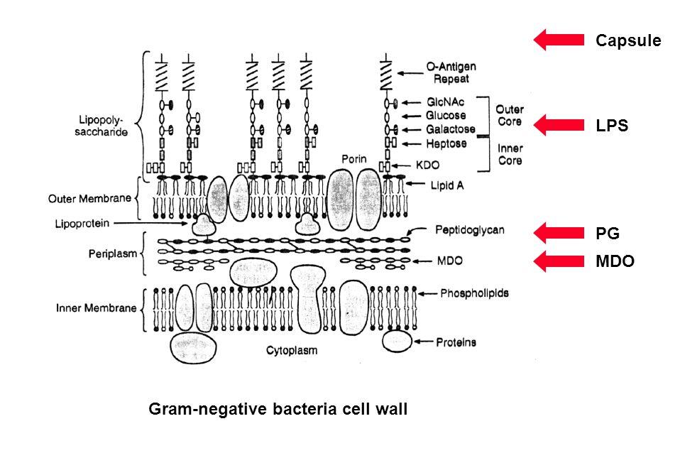 Peptidoglycan A G D A A G D A A G D A A G D A A G D A A G D A A G D A A G D A AA A G D A A G D A G D A A G D A A G D A G D A A G D A A G D A A G D A A G D A A G D A A G D A A G D A A G D A A G D A [GlcNAc 1,4MurNAc 1,4] n Heijenoort (2001) Glycobiology 11:25R