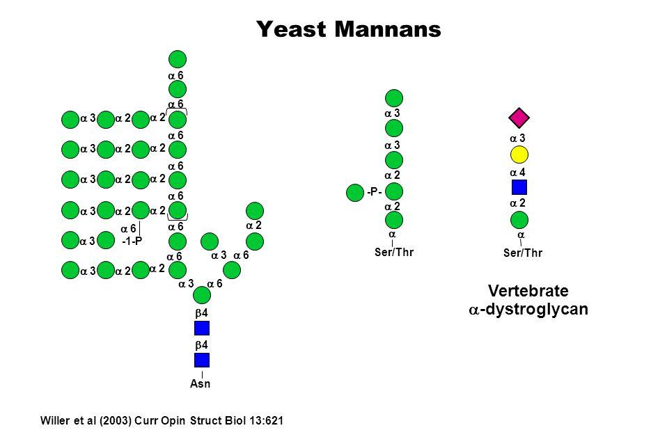 Yeast Mannans 6 6 6 6 6 6 6 6 6 2 2 2 2 2 2 2 3 3 3 2 2 3 3 3 3 2 2 -1-P 6 3 4 4 Asn 2 2 3 3 Ser/Thr -P- 2 4 3 Ser/Thr Vertebrate -dystroglycan Willer et al (2003) Curr Opin Struct Biol 13:621