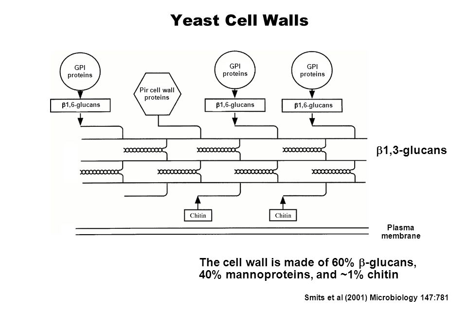 Yeast Cell Walls The cell wall is made of 60% -glucans, 40% mannoproteins, and ~1% chitin Smits et al (2001) Microbiology 147:781 1,3-glucans 1,6-glucans GPI proteins GPI proteins GPI proteins Pir cell wall proteins Plasma membrane