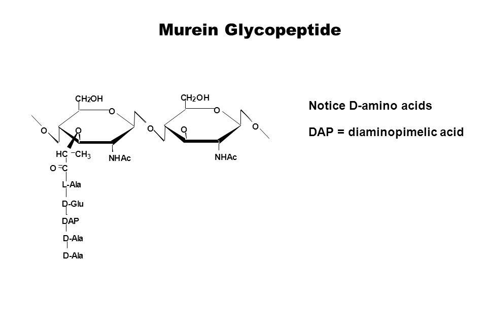 Murein Glycopeptide O NHAc O CH 2 OH HCCH 3 C O NHAc O CH 2 OH O O O L-Ala D-Glu DAP D-Ala D-Ala O Notice D-amino acids DAP = diaminopimelic acid
