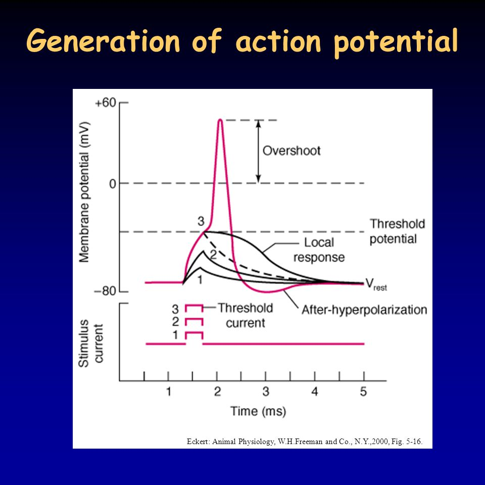 Generation of action potential Eckert: Animal Physiology, W.H.Freeman and Co., N.Y.,2000, Fig. 5-16.