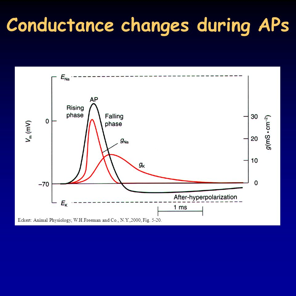 Conductance changes during APs Eckert: Animal Physiology, W.H.Freeman and Co., N.Y.,2000, Fig. 5-20.