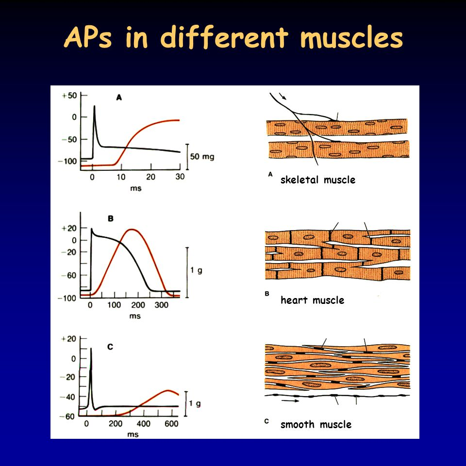 APs in different muscles heart muscle skeletal muscle smooth muscle