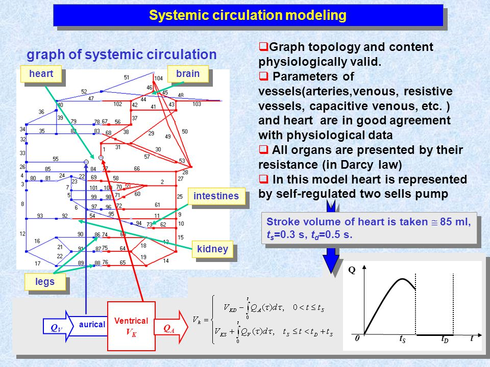 Systemic circulation modeling heart kidney brain legs intestines graph of systemic circulation Graph topology and content physiologically valid.