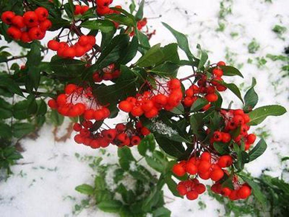 The Mistletoe reminds us today about Emotional and Physical Love, we all need hugs and kisses given in affection and in the warmth of True Love to sho
