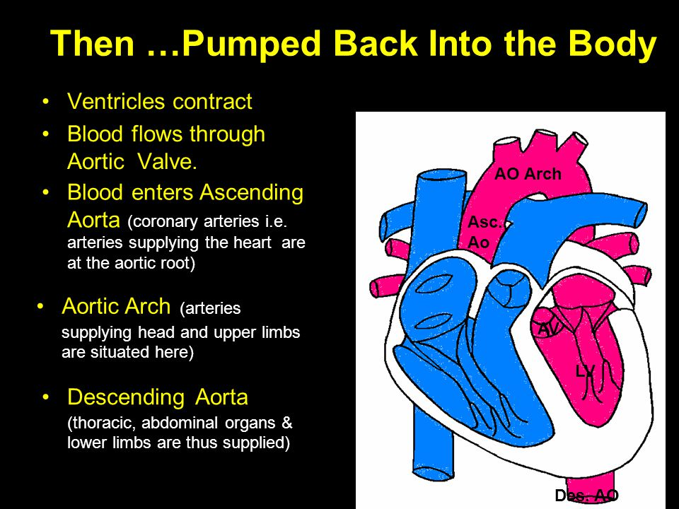 Then …Pumped Back Into the Body Ventricles contract Blood flows through Aortic Valve. Blood enters Ascending Aorta (coronary arteries i.e. arteries su